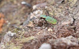 Green Tiger Beetle at Fen Bog, 17th July 2016