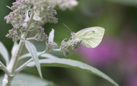Green-veigned White at Etherley Moor, 30th July 2016