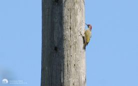 Green Woodpecker at Bishops Park, 24th August 2006