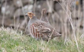 Grey Partridge near Stanhope, 29th April 2017