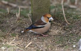 Hawfinch at Low Barns, 8th February 2009