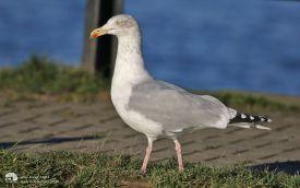 Herring Gull at Jacksons Landing, 2nd January 2017