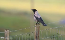 Hooded Crow at Totscore, 1st August 2007