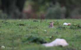 Hoopoe at Tindale, 21st October 2013