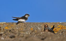 House Martin at Etherley Moor, 12th August 2015