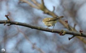Humes Leaf Warbler at Norton, 9th March 2008