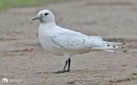 Ivory Gull at Patrington Haven, 23rd December 2013