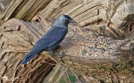 Jackdaw at Low Barns, 7th February 2015