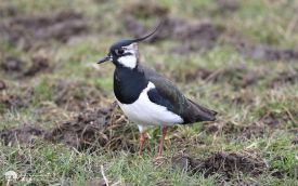 Lapwing on Seaton Common, 12th March 2016