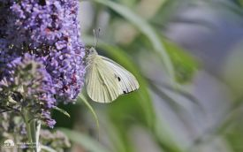 Large White at Etherley Moor, 6th August 2016