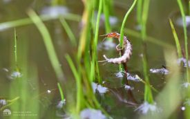 Larvae at Etherley Moor, 24th July 2016