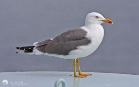 Lesser Black-backed Gull on the Mull to Oban ferry, 1st June 2012
