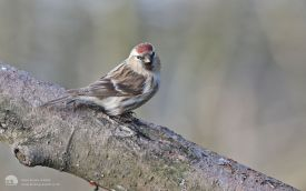 Lesser Redpoll at Low Barns, 27th March 2016