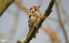 Lesser Spotted Woodpecker at Merrybent, September 2004