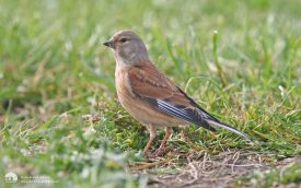 Linnet at Hartlepool Headland, 14th April 2007