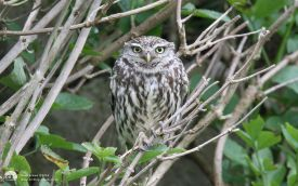 Little Owl at Trow Quarry, 11th July 2008