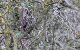 Long-eared Owl at Haverton Hole, 1st March 2014