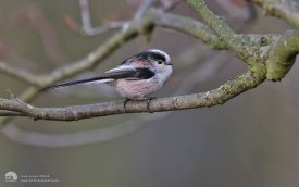 Long-tailed Tit at Low Barns, 7th February 2015