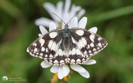 Marbled White at Wingate, 10th July 2016