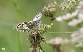 Marbled White at Wingate, 3rd July 2007