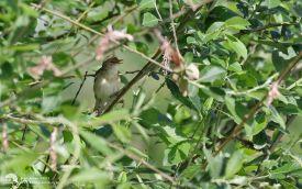 Marsh Warbler at Bowesfield Marsh, 7th June 2017