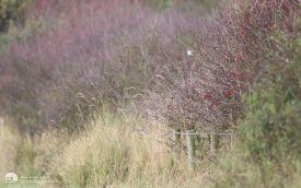 Masked Shrike at Kilnsea, 21st September 2014