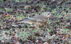 Mistle Thrush at Hardwick Hall, 2nd January 2017