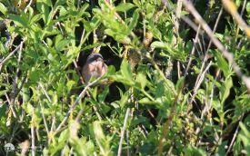 Moltoni's Warbler at Blakeney, 11th May 2015