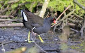 Moorhen at Bedburn, 5th May 2008