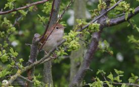 Nightingale at Cowpen Bewley, 9th May 2012
