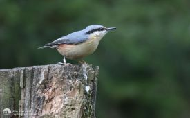 Nuthatch at Low Barns, 8th April 2012