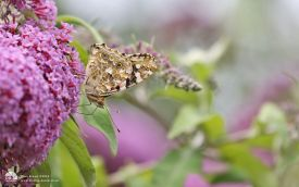 Painted Lady at Minsmere, 4th July 2016