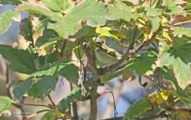 Pallas's Warbler at Hartlepool Headland, 17th October 2015