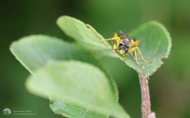 Parasitic Wasp at Etherley Moor, 30th July 2016