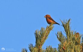 Parrot Crossbill at Budby Common, 2nd January2014