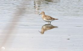 Pectoral Sandpiper at Shibdon Pond, 30th August 2014