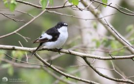 Pied Flycatcher at Tunstall, 15th May 2016