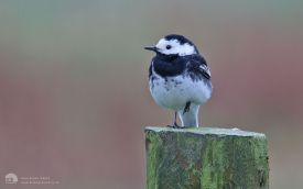 Pied wagtail on Seaton Common, 27th April 2014