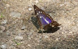 Purple Emperor near Cotgrave, 17th July 2017