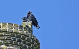 Raven at Botallack, 12th August 2017
