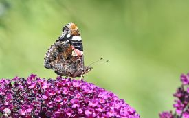 Red Admiral at Etherley Moor, 6th August 2016