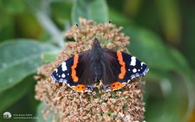 Red Admiral at Etherley Moor, 5th September 2010