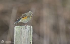 Red-flanked Bluetail at St. Mary's, 10th October 2010