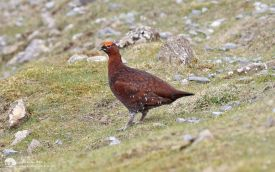 Red Grouse at Bollihope, 7th April 2017
