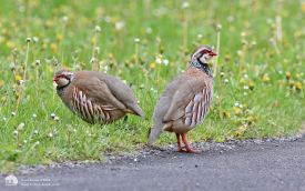 Red-legged Partridge at Scotch Corner, 4th May 2015