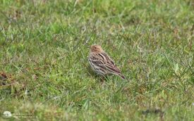 Red-throated Pipit in Derbyshire, 4th May 2015