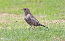 Ring Ouzel at Billingham, 28th April 2013