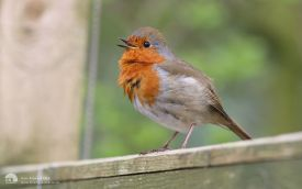 Robin at Gosforth Park, 10th April 2014