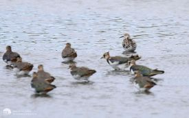 Ruff at Shibdon Pond, 30th August 2014