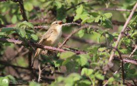 Sedge Warbler at Dormans, 25th April 2015